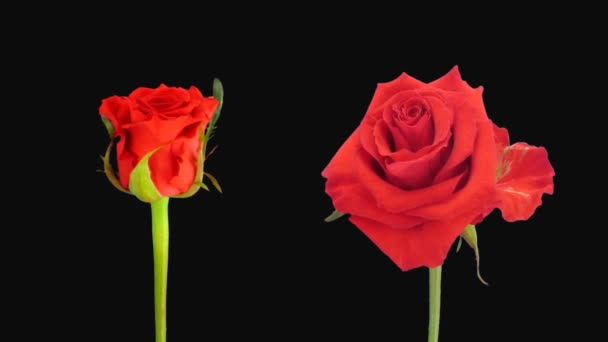 Time-lapse of opening and dying red Jaguar roses isolated on black background