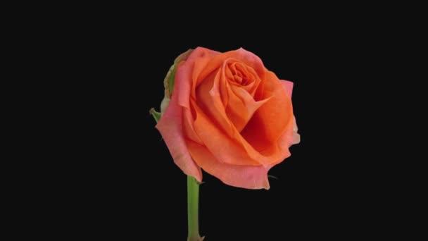 A haldokló narancs Pascha rózsa fekete alapon elszigetelt időeltolódása