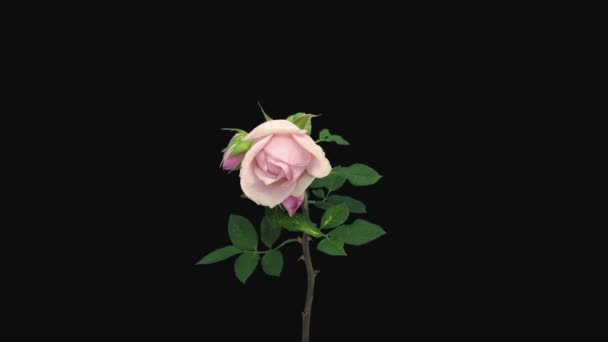 Time-lapse of resurrection pale pink rose Polka isolated on black background