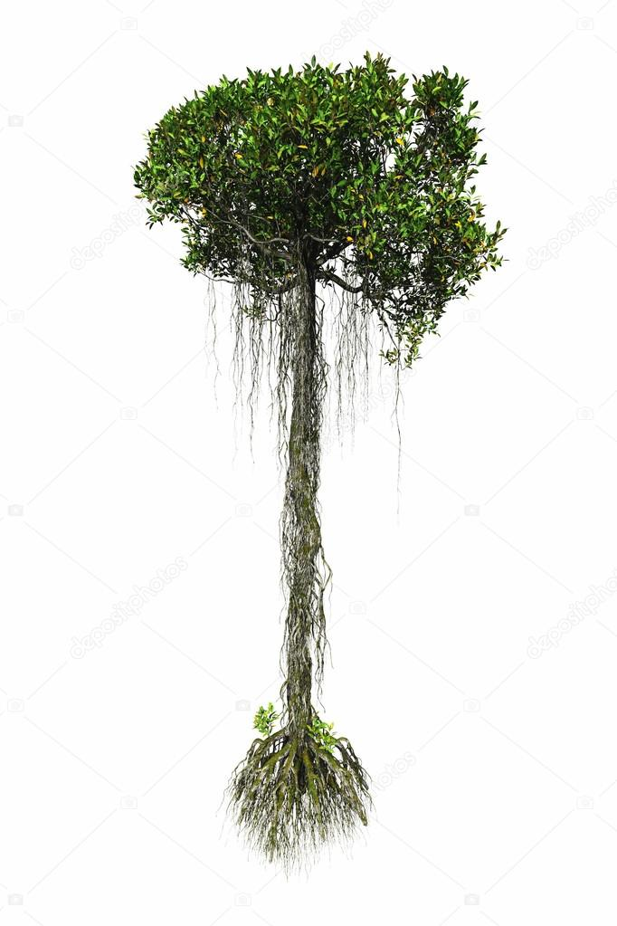 Mangrove tree in white background isolated