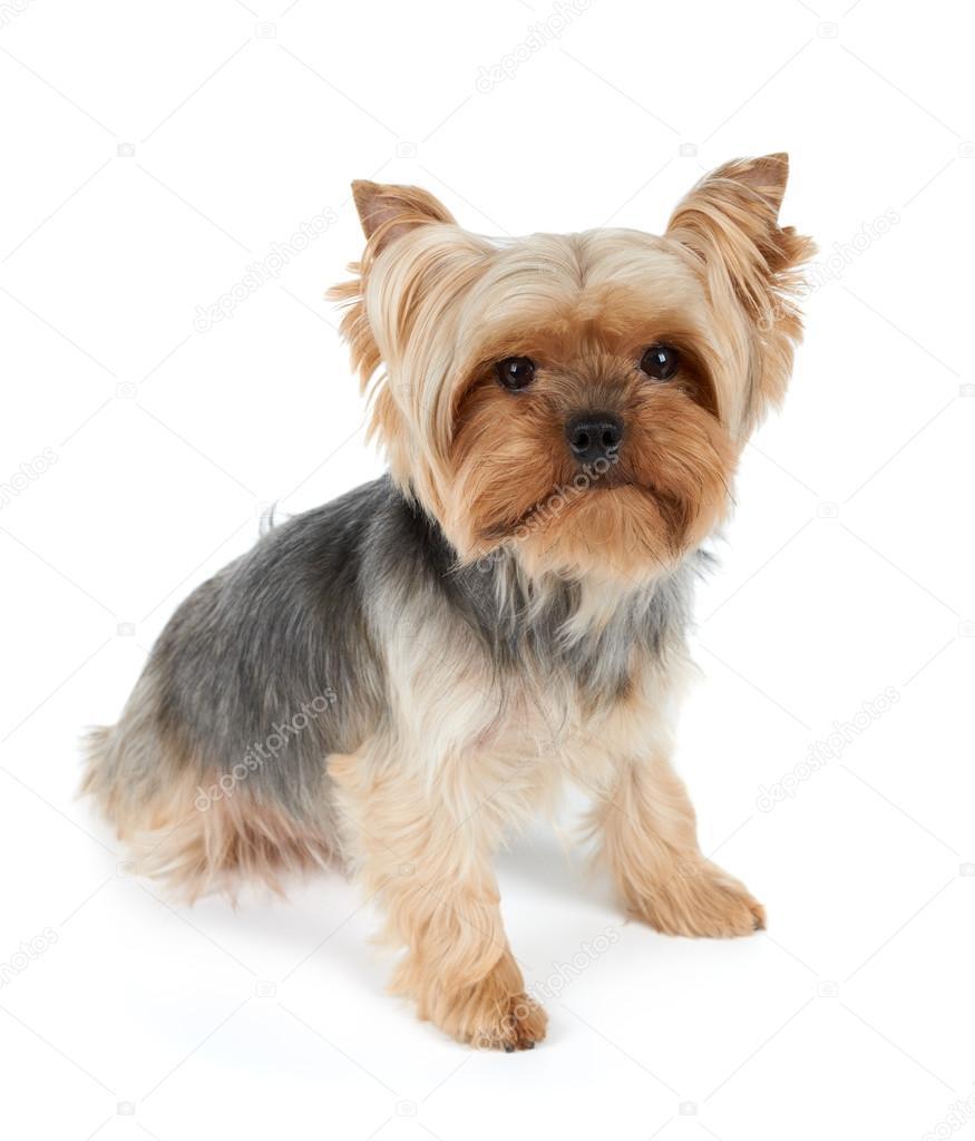 Jeden Pies Z Fryzurą Zdjęcie Stockowe Photopotam 115754160
