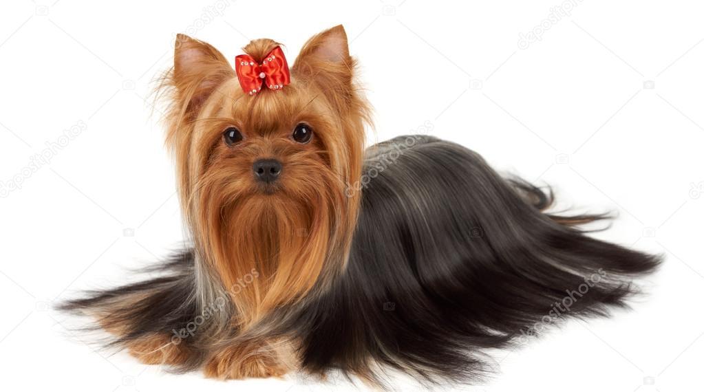 Yorkie With Professionally Groomed Hair Stock Photo Photopotam