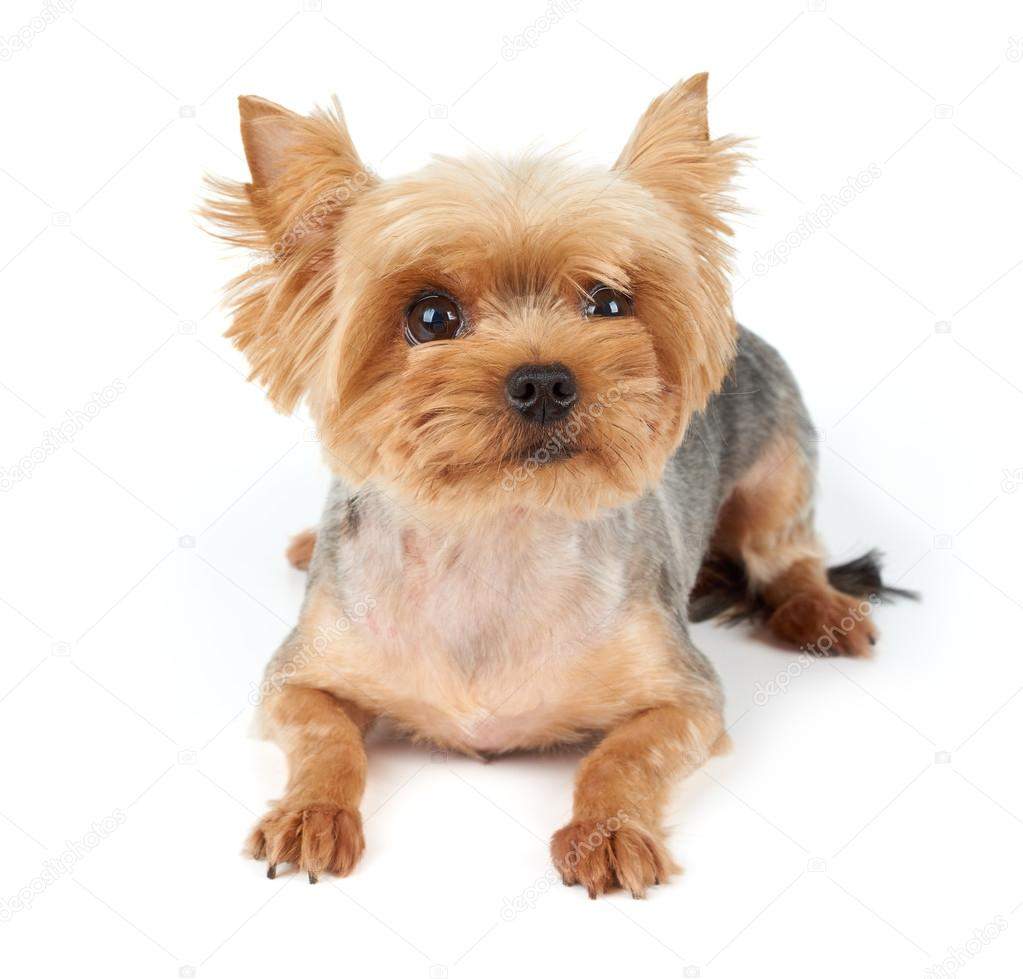 Yorkie With Short Haircut Stock Photo Photopotam 75326663