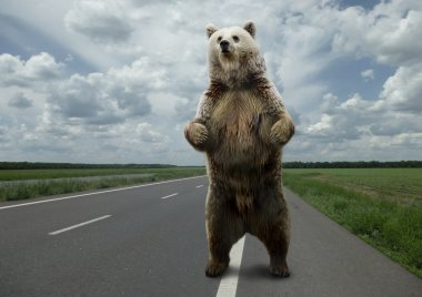 Brown bear standing on the road.