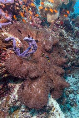 Yellowtail Clown Fish with Sea Anemone
