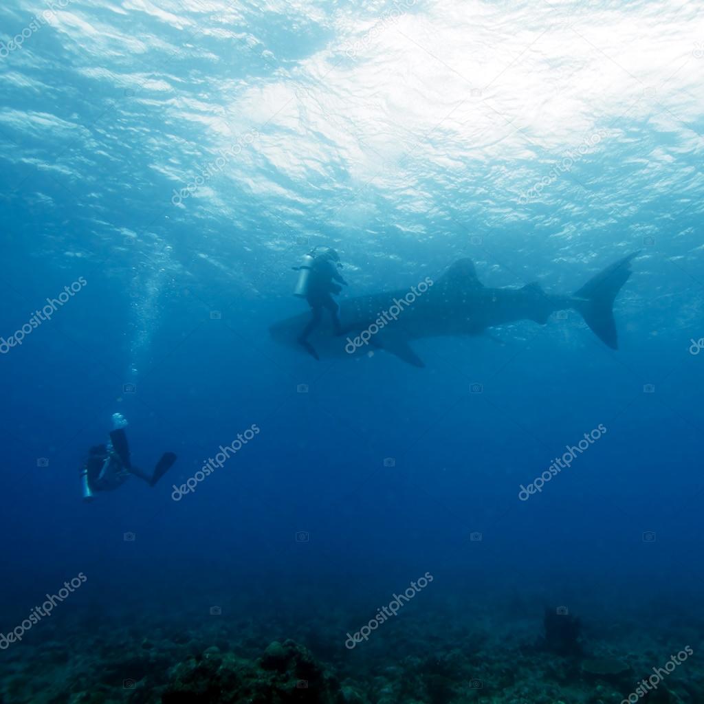 Whale shark and Scuba Diver, Maldives