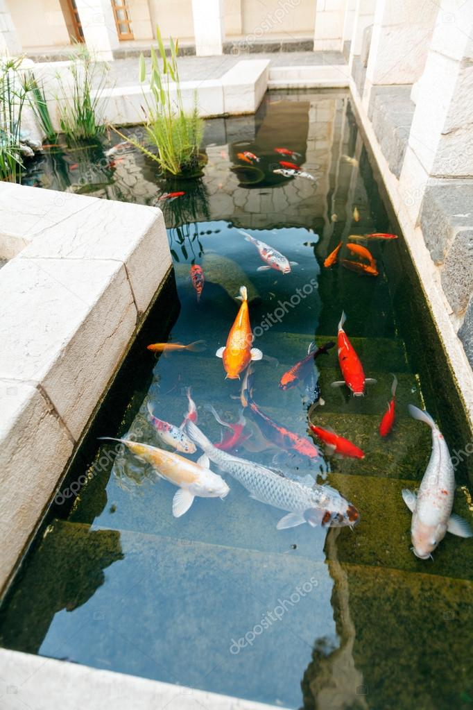 Koi estanques con peces carpas coloridas de jap n foto for Mantenimiento de estanques para peces
