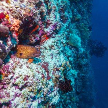 Moray Eel in Tropical Coral Reef, Maldives