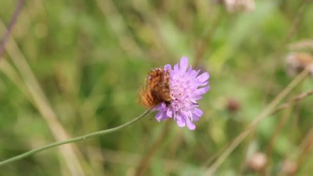 Stříbro prané fritillary (Argynnis paphia) motýl