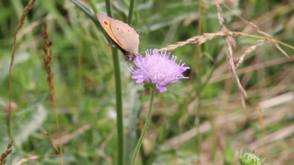 Motýl Okáč nebo Aphantopus hyperantus)