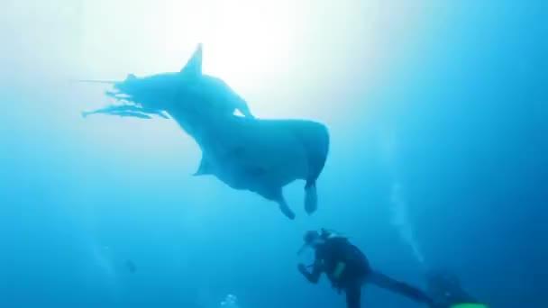 Manta Rays Attack Scuba Diver Underwater, Maldives