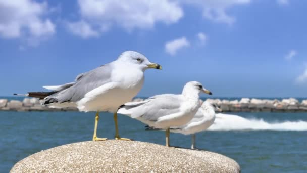 4K Lake Erie Seagulls