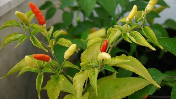 Malé chilli papričky zblízka