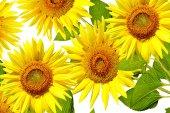 Krásné slunečnice, samostatný
