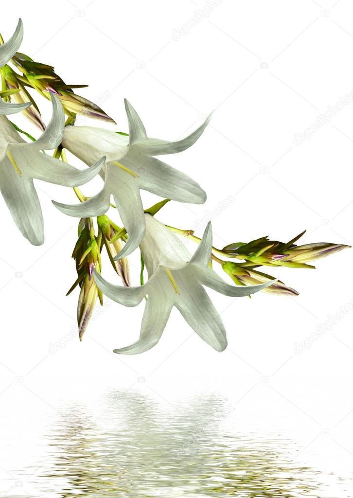 bell flower isolated on white background