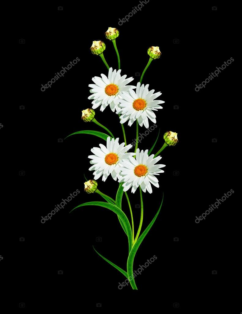 daisies summer white flower isolated on black background.