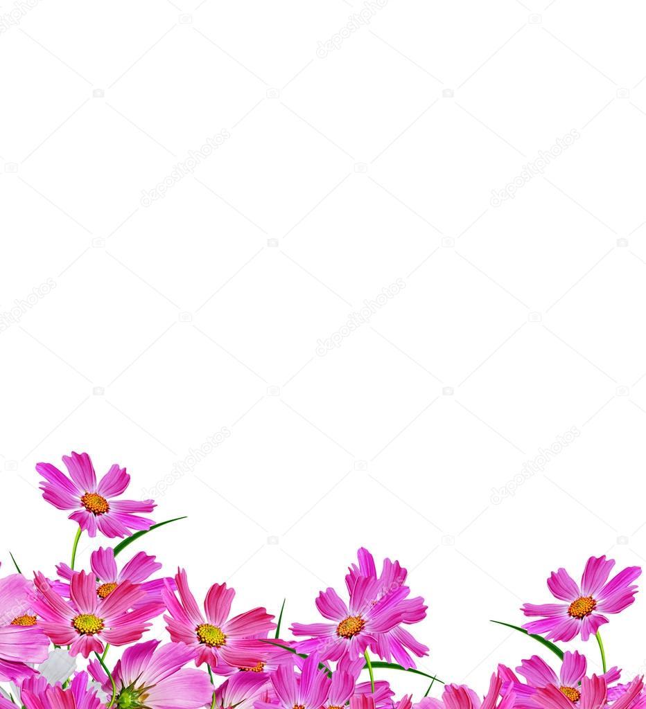 Imágenes Fondos Blancos Con Flores Flores Cosmos Aisladas Sobre