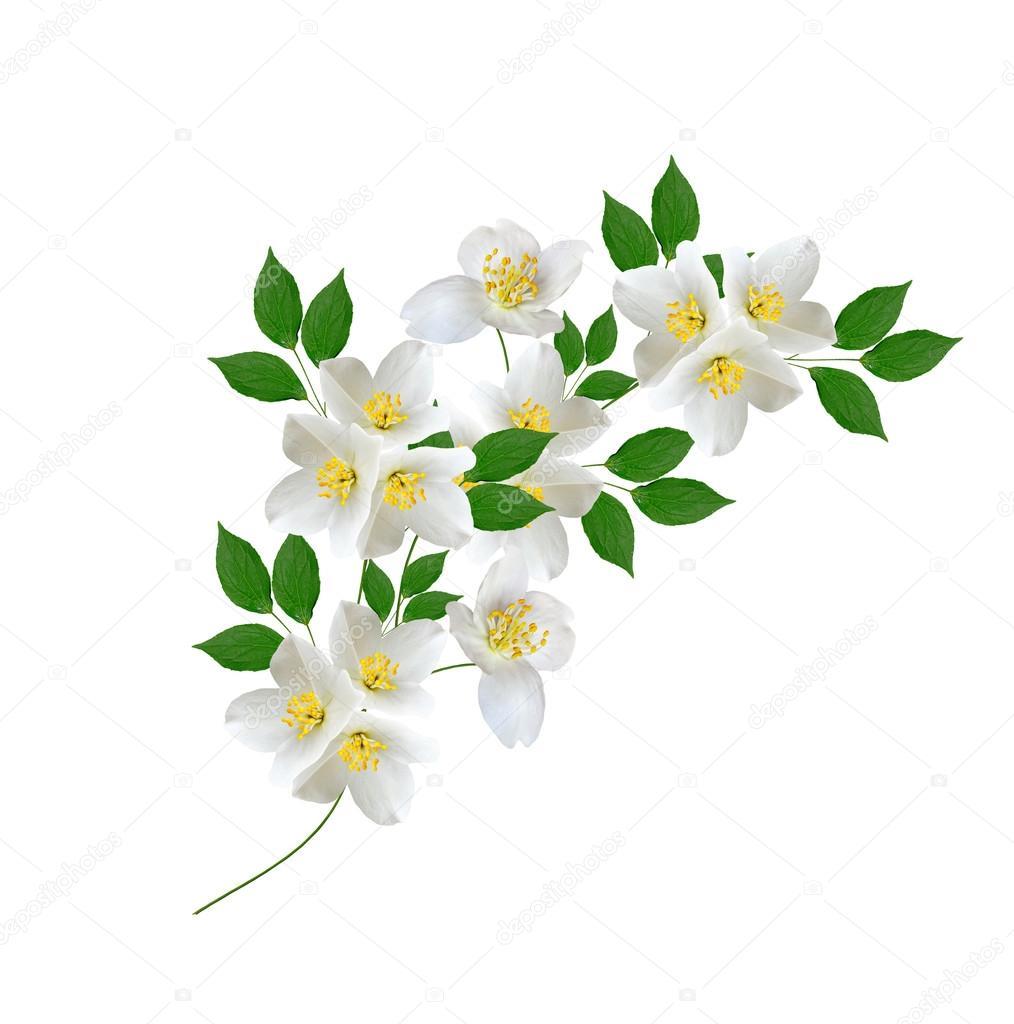White jasmine flower stock photo alenalihacheva 110815790 white jasmine flower branch of jasmine flowers isolated on white background spring flowers photo by alenalihacheva izmirmasajfo