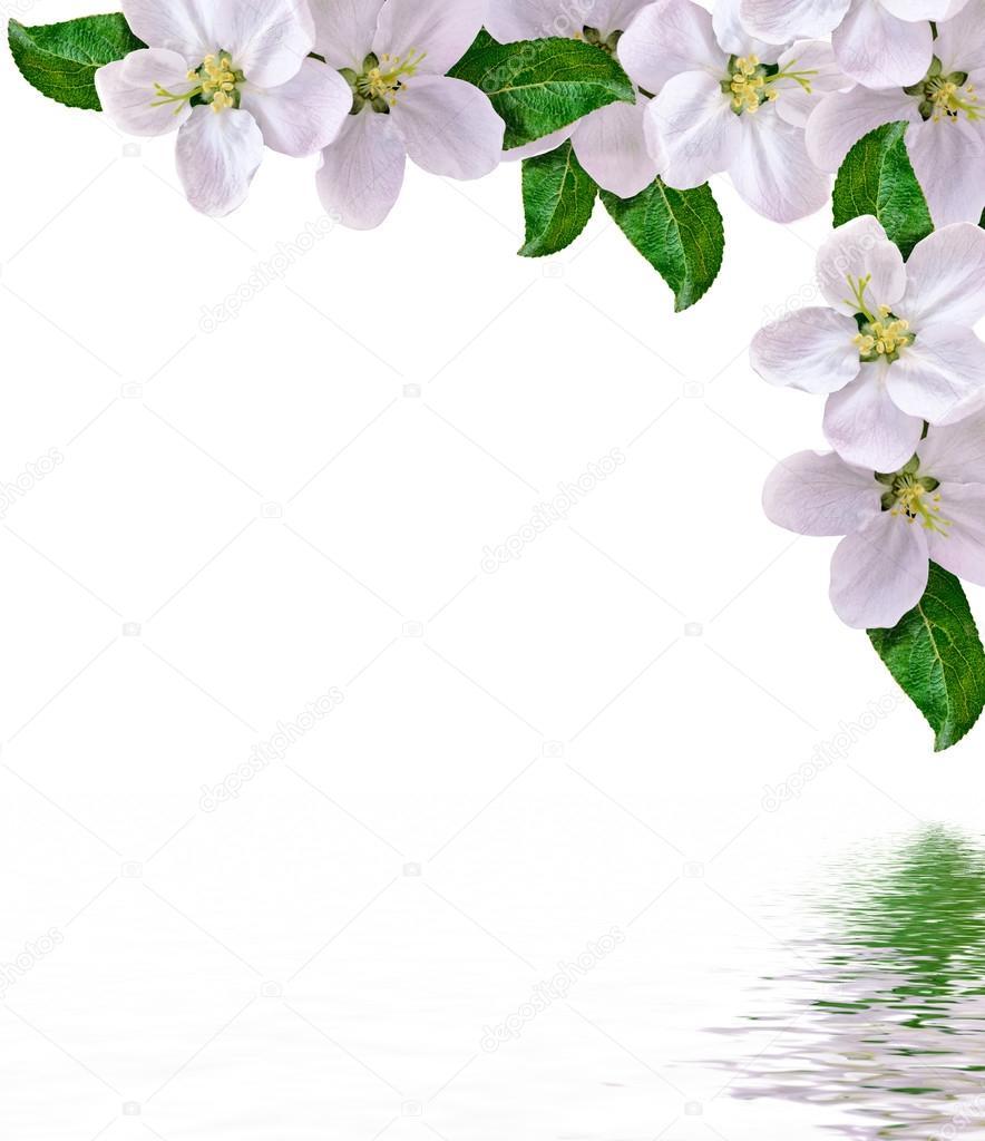 Hermosas Delicadas Flores Blancas De La Flor De La Manzana Aislado