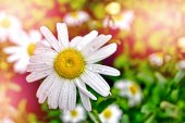 Fotografie Wildflowers daisies. Summer landscape. white chamomile flowers