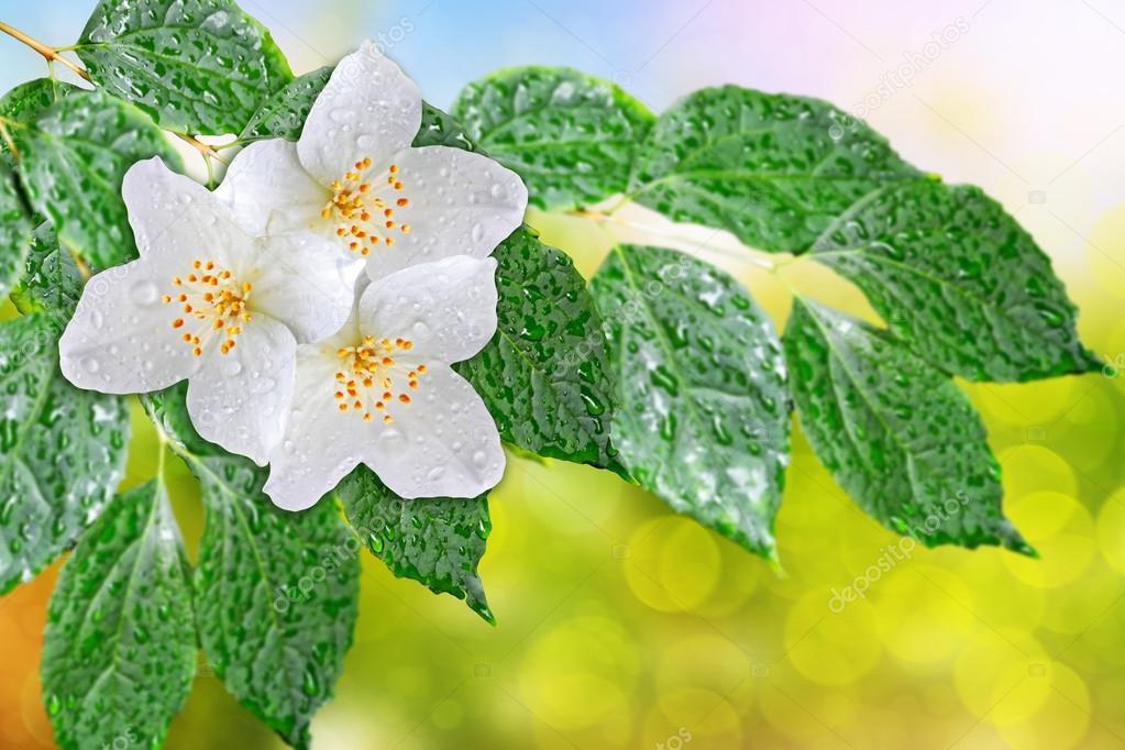 Frühlings-Landschaft mit zarten Jasminblüten. Weiße Blumen ...