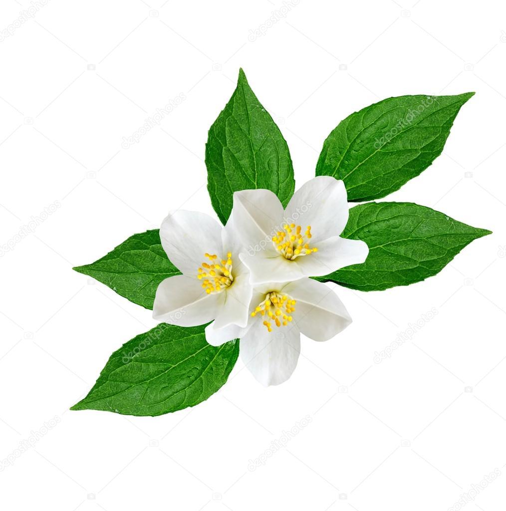 fleur de jasmin blanc — photographie alenalihacheva © #114663060