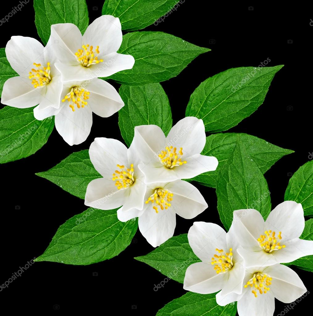 White Jasmine Flower Stock Photo Alenalihacheva 114674222