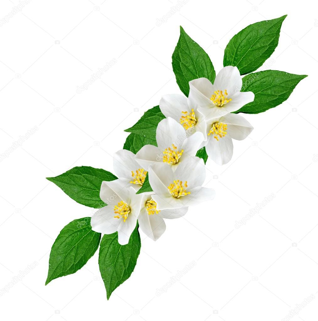 Fleur De Jasmin Blanc Photographie Alenalihacheva C 115757894
