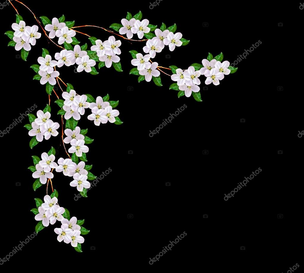Beautiful Delicate White Flowers Of Apple Blossom Isolated On Bl