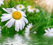 Fotografie Wildflowers daisies. Summer landscape. white chamomile flowers