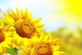 Krásné slunečnice pole v létě. žluté květy
