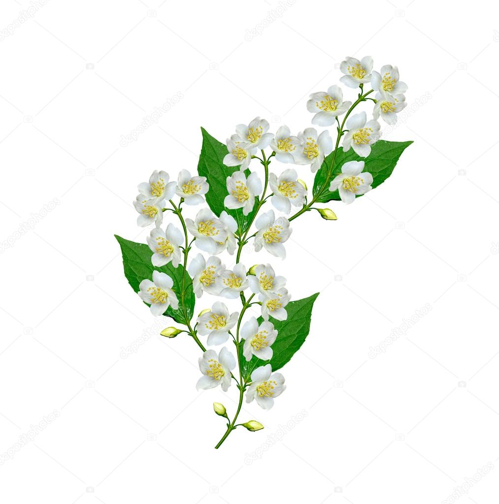 White Jasmine Flower Stock Photo Alenalihacheva 123859374