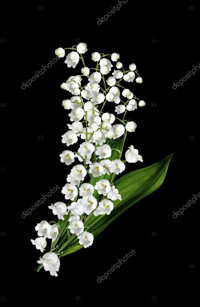 The branch of lilies of the valley flowers isolated on black bac