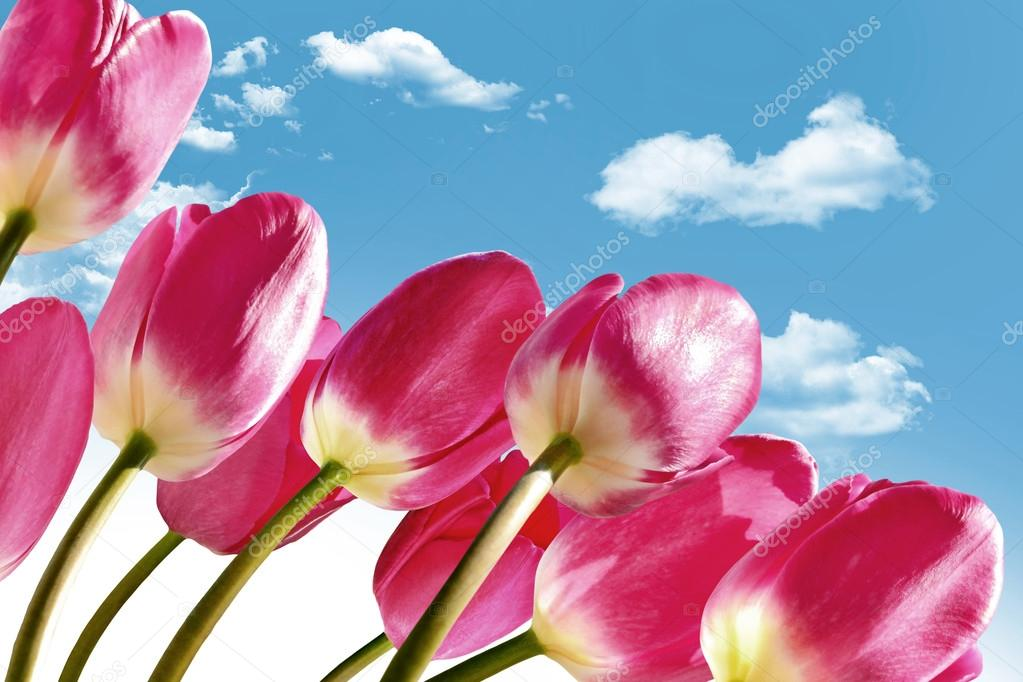 Spring flowers tulips on the background of blue sky with clouds spring flowers tulips on the background of blue sky with clouds stock photo mightylinksfo