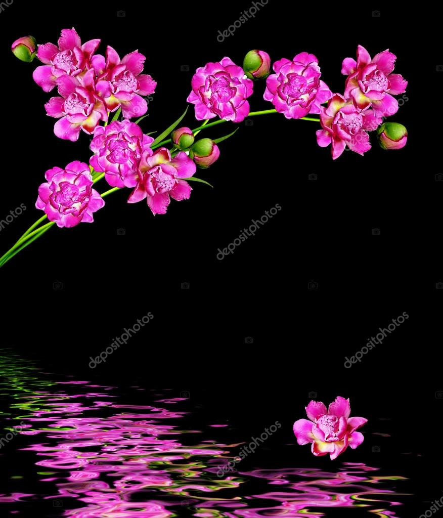 peonies flowers isolated on black background