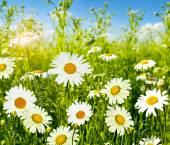 Margherite di fiori di campo