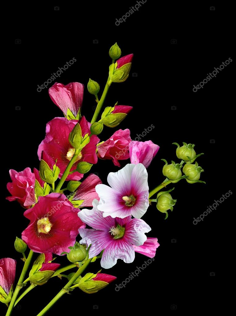 Mallow flowers isolated on black background