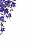 modré květy zvonek izolovaných na bílém pozadí