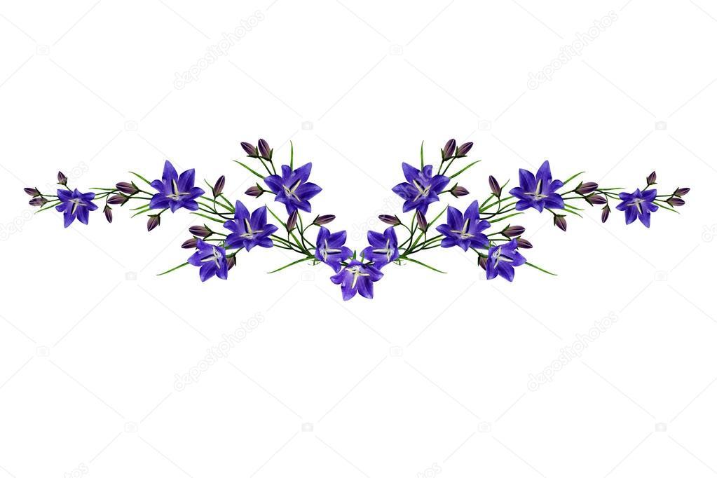 Fondo Flores Con Blanco Campanula Flores Azules Aislado Sobre