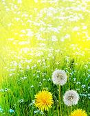 Fotografie Wildblumen-Löwenzahn