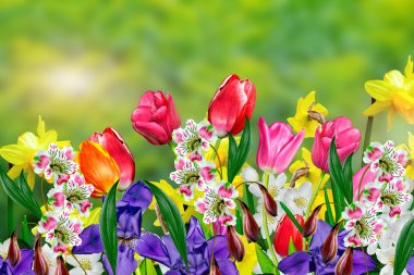 Spring flowers daffodils and tulips