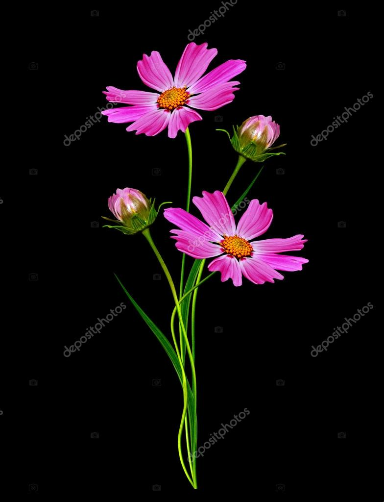 Flowers cosmos isolated on a black background