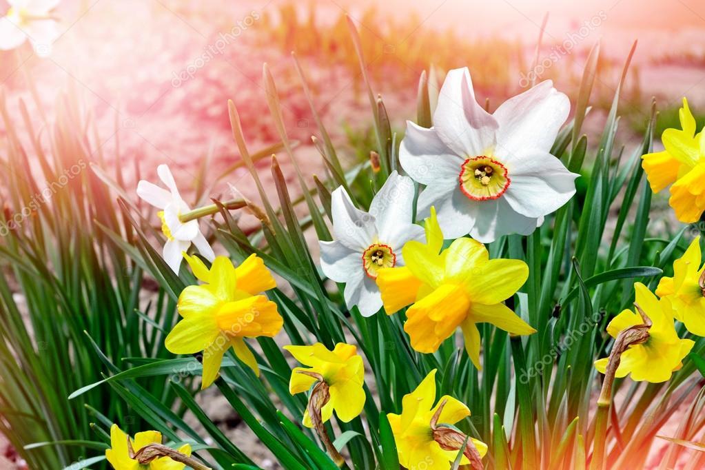 Młodzieńczy Wiosenny krajobraz. piękne wiosenne kwiaty żonkile — Zdjęcie BN76