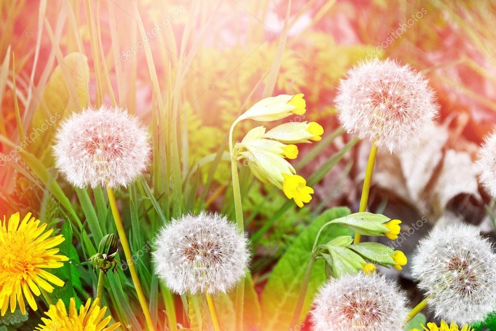 Fiore Di Tarassaco Lanuginoso Sullo Sfondo Dellestate Lan Foto