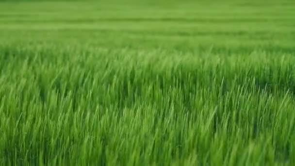 A mező zöld árpa