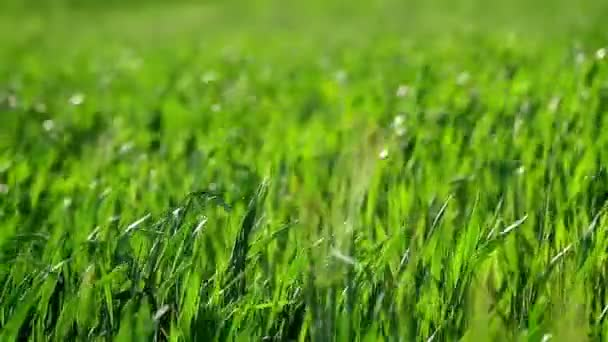 Pole s zelený ječmen