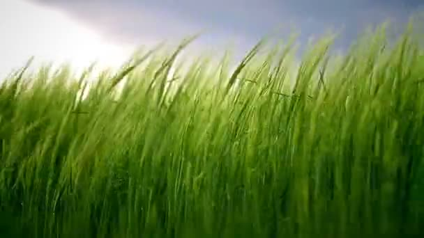 Field with green barley