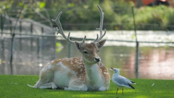 Racek lov hmyzu kolem buck jelen