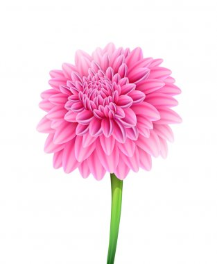 Blooming beautiful aster flower