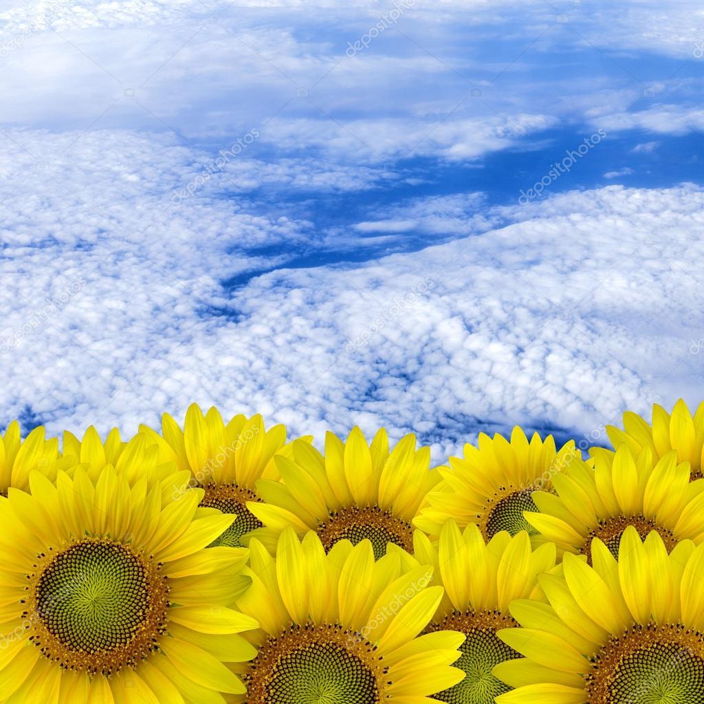 Beautiful yellow Sunflower petals closeup with space text sky ba